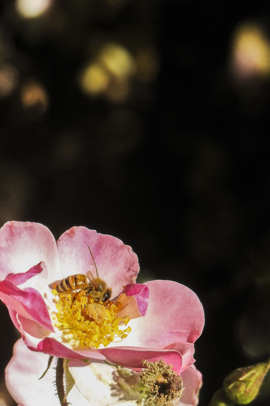 Rose and bee